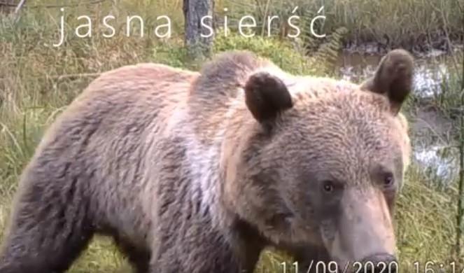 W Gorcach pojawiły się niedźwiedzie (film)